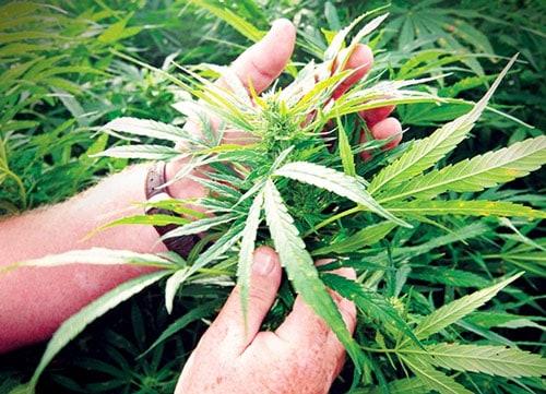 Cannabinoid-Has-30x-Potency-of-THC
